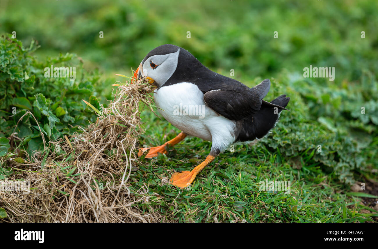 Puffin, Atlantic Puffin (Fratercula arctica) tugging on dried grass with his beak to gather nesting material on the Scottish Island of Lunga.Landscape - Stock Image