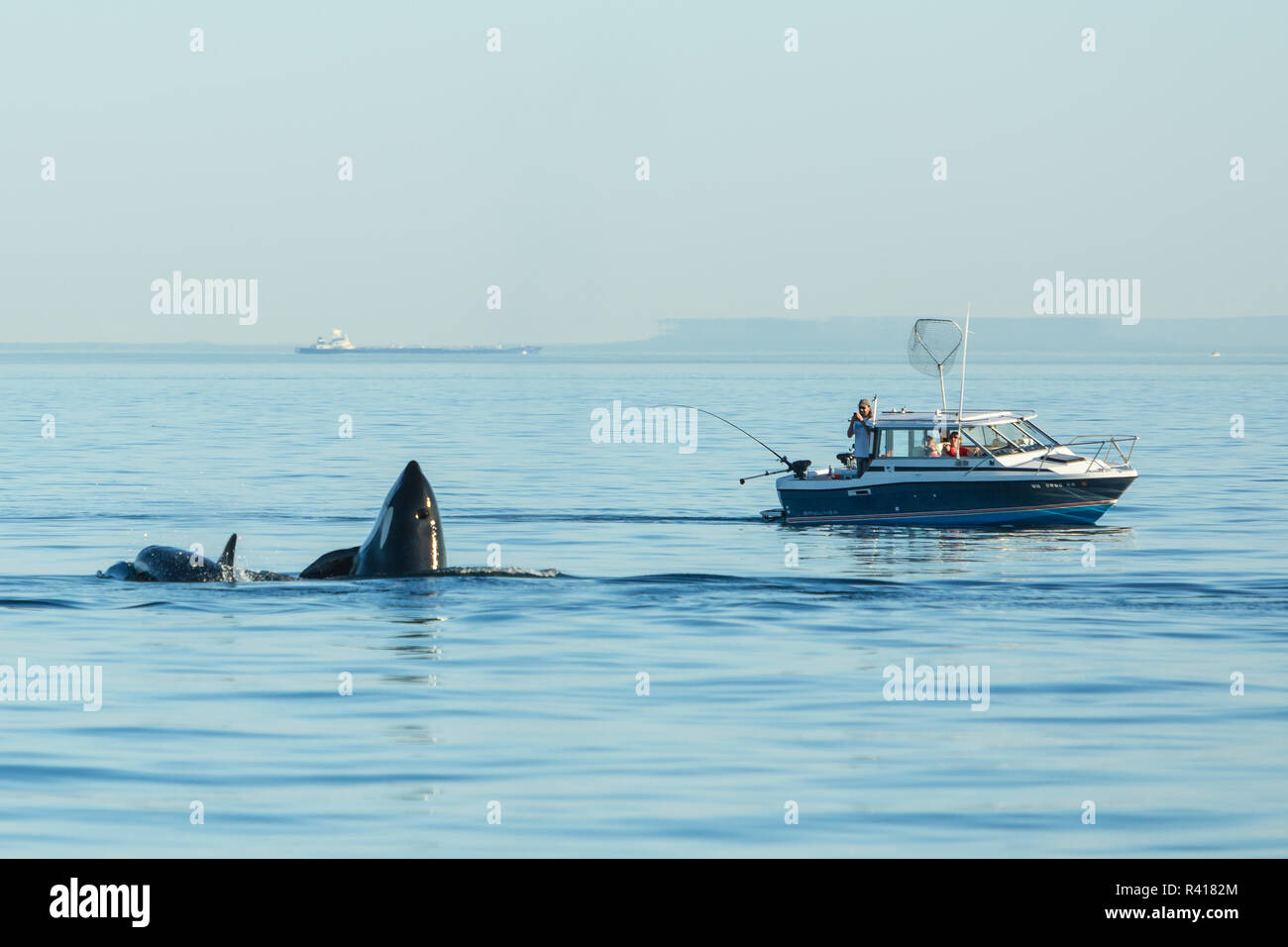 Spyhopping orca near Fishing Boat from Pod of resident Orca Whales (Orcinus orca) in Haro Strait near San Juan Island, Washington State, USA - Stock Image