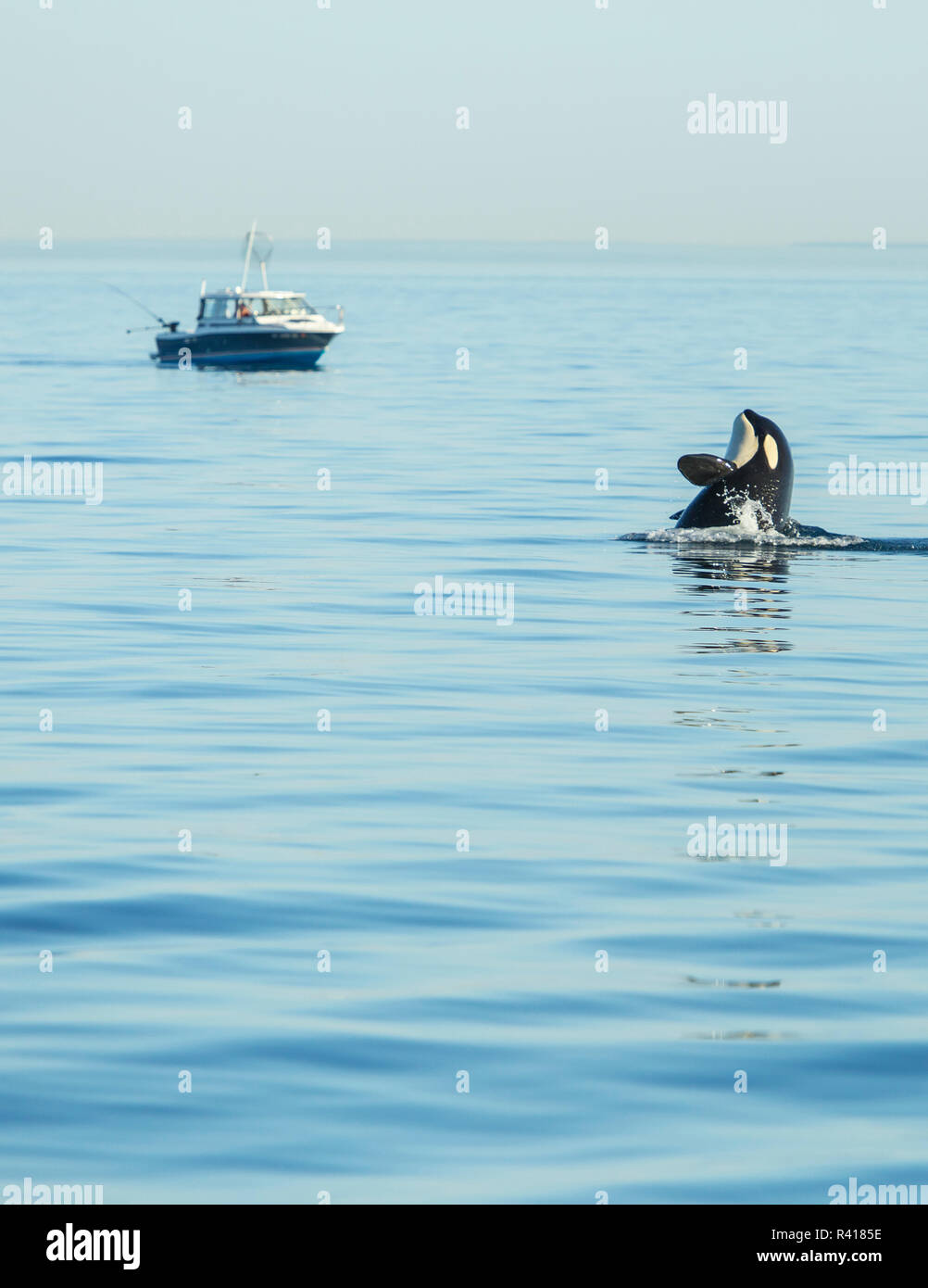 Spy hopping Juvenile Orca from Pod of resident Orca Whales (Orcinus orca) in Haro Strait near San Juan Island, Washington State, USA - Stock Image