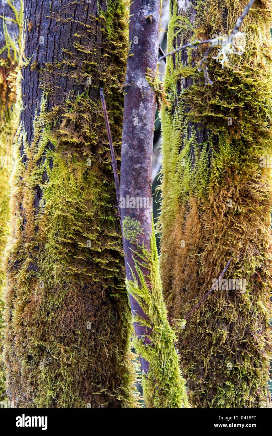 USA, Washington State. Complicated mosses growing on trees - Stock Image