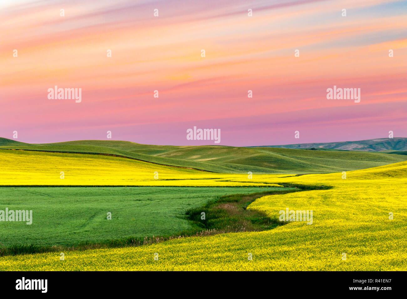 Yellow canola field at sunrise, Palouse near Pullman, Washington State. Stock Photo