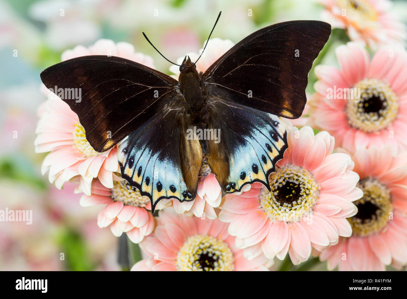 Bộ sưu tập cánh vẩy 4 - Page 19 Tropical-butterfly-charaxes-eurialus-from-indonesia-on-pink-gerber-daisies-R41FYM