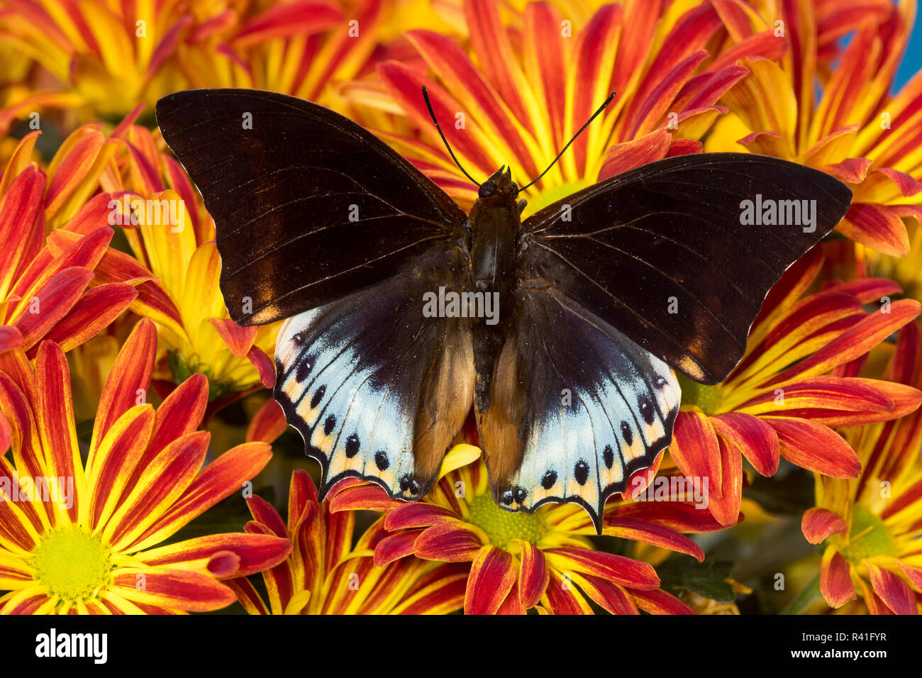 Bộ sưu tập cánh vẩy 4 - Page 19 Tropical-butterfly-charaxes-eurialus-from-indonesia-on-mums-R41FYR
