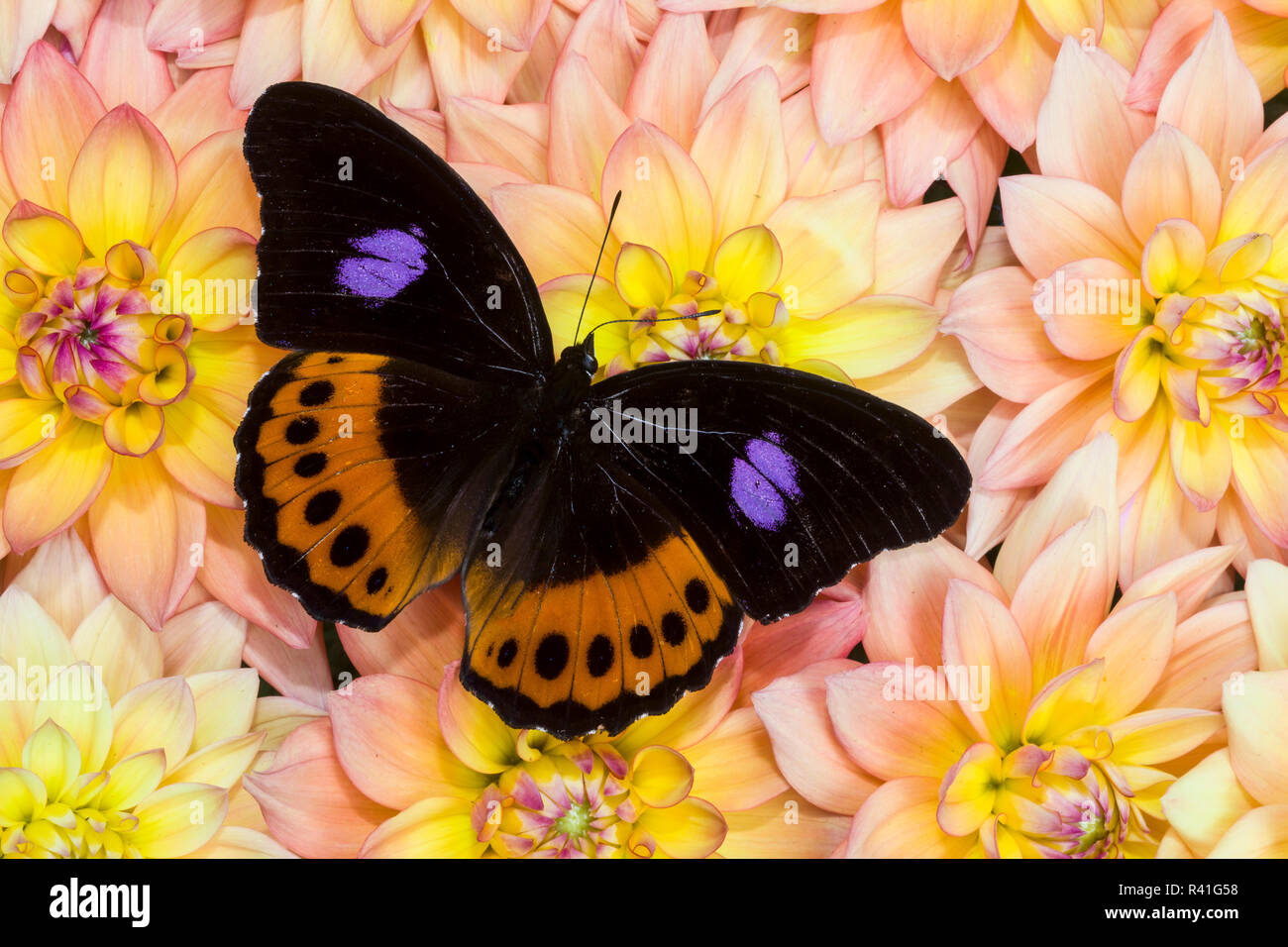 Bộ sưu tập cánh vẩy 6 - Page 14 Hypolimnas-pandarus-pandora-the-brush-footed-butterfly-from-southeast-asia-on-dahlia-flowers-R41G58