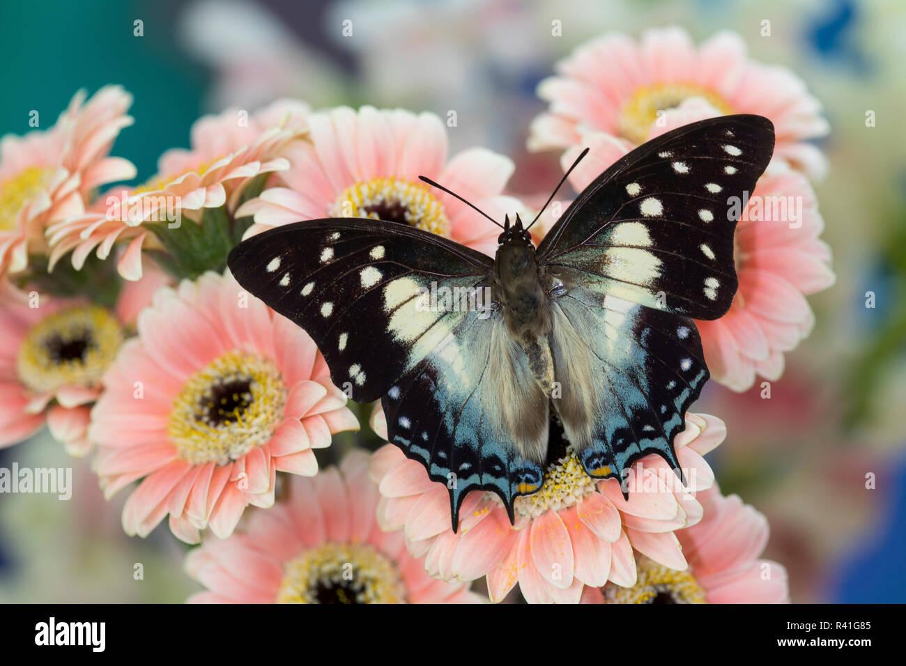 Bộ sưu tập cánh vẩy 4 - Page 18 Tropical-butterfly-polyura-cognatus-sulawesi-blue-nawab-a-dagger-tailed-butterfly-on-gerber-daisy-R41G85