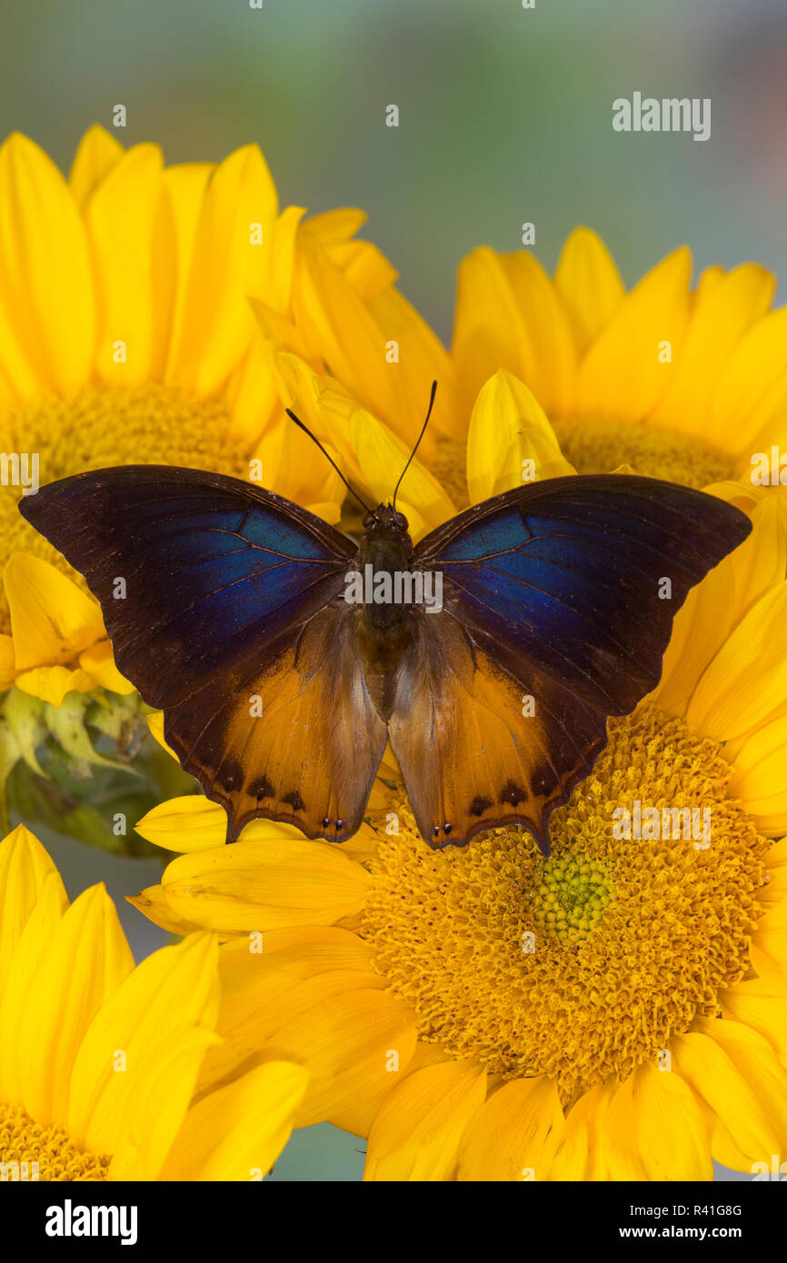 Brush-footed butterfly, Charaxes mars and sunflowers - Stock Image