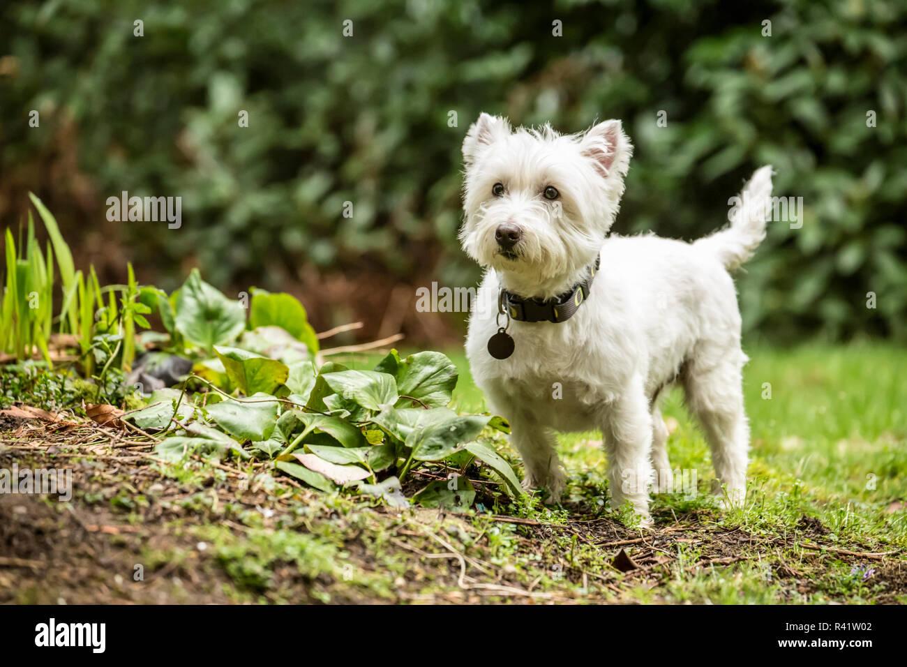 Issaquah, Washington State, USA. Westie exploring the yard. (PR) - Stock Image
