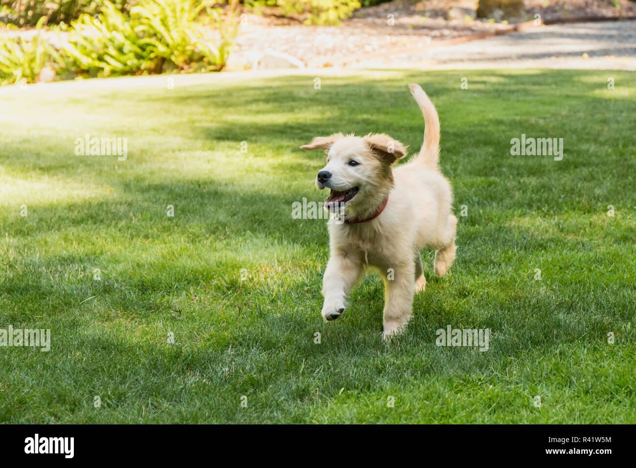 Issaquah Washington State Usa Golden Retriever Puppy Running In