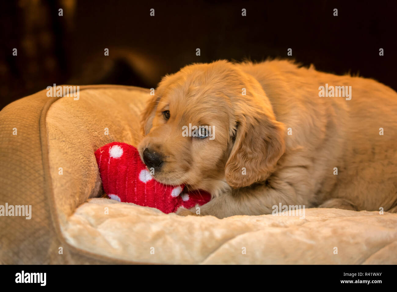 Eight Week Old Golden Retriever Puppy Chewing On A Stuffed Toy In