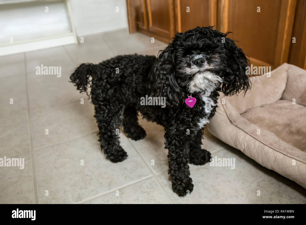 Barbone Toy High Resolution Stock Photography And Images Alamy