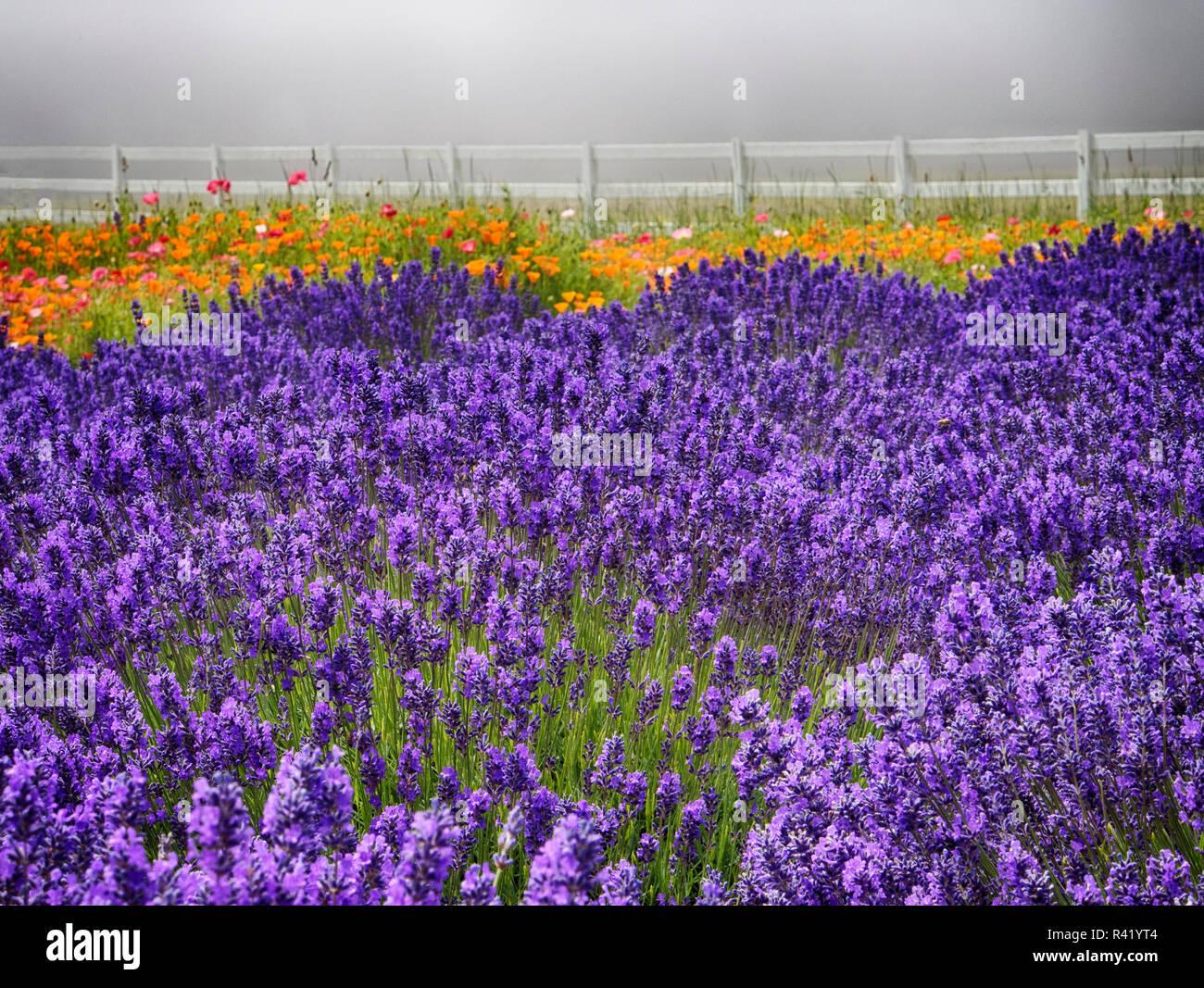 Sequim Lavender Festival 2020.Sequim Lavender Stock Photos Sequim Lavender Stock Images
