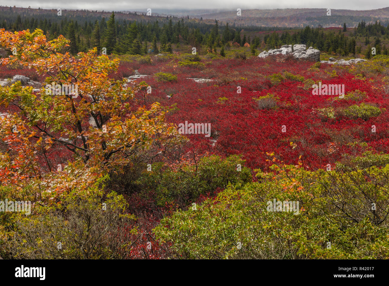 Bear Rocks in autumn in the Dolly Sods Wilderness, West Virginia, USA - Stock Image