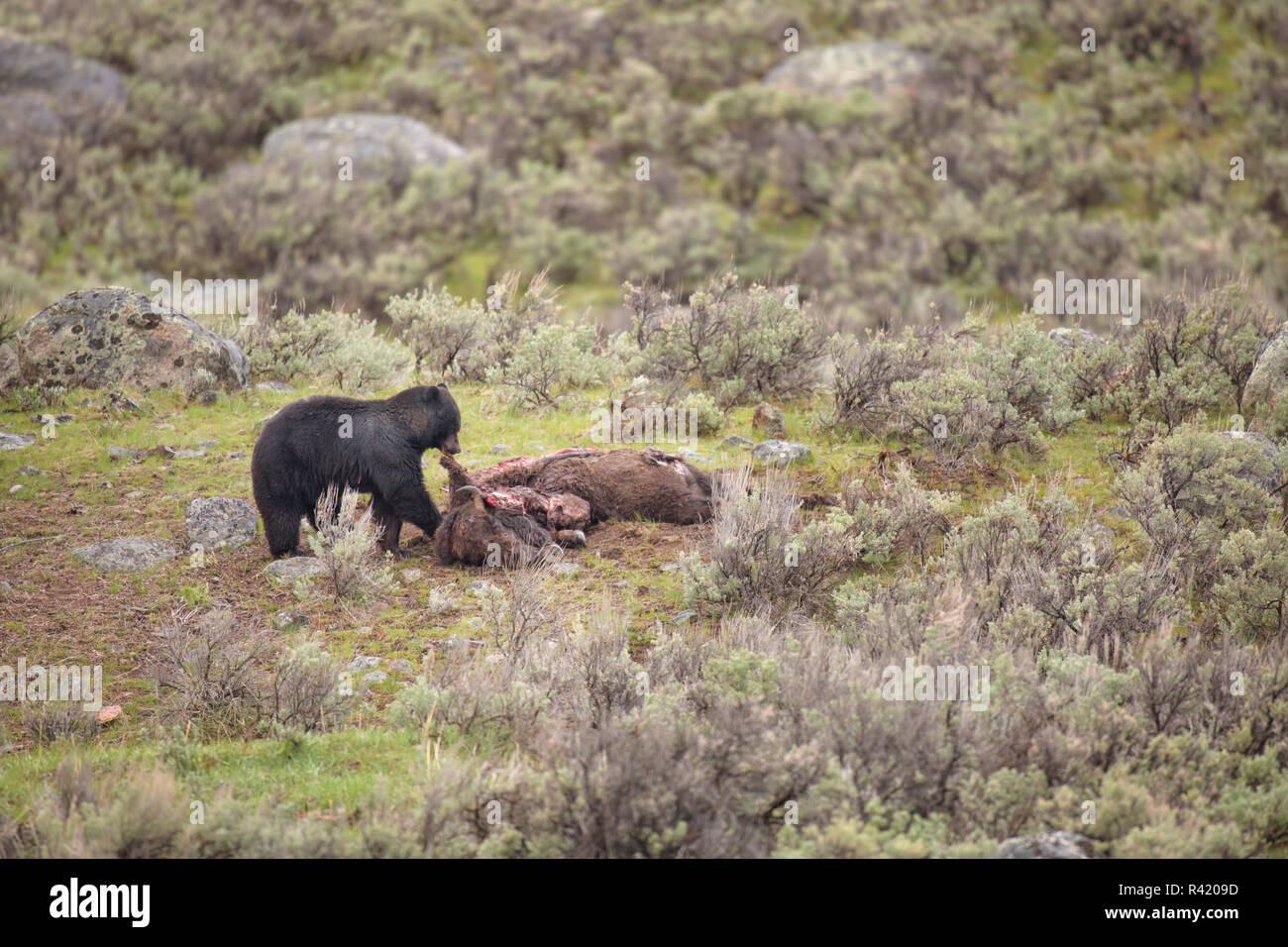 USA, Wyoming, Yellowstone National Park. Black bear feeds on bison carcass killed by wolves. - Stock Image