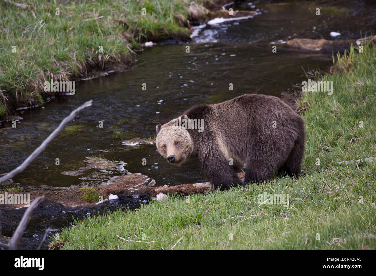 USA, Wyoming, Yellowstone National Park. Grizzly bear pauses while drinking from stream. Credit as: Don Grall / Jaynes Gallery / DanitaDelimont. com - Stock Image