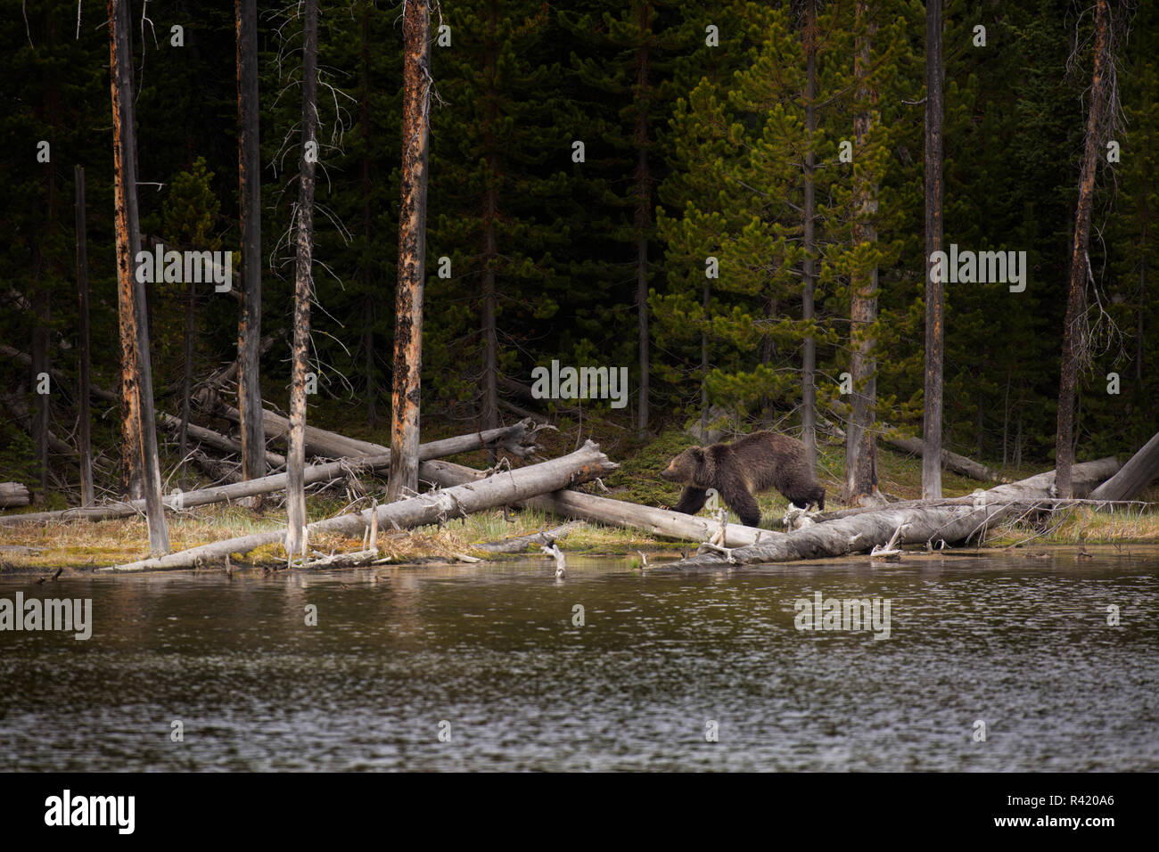 USA, Wyoming, Yellowstone National Park. Grizzly Bear walks along a lake shore. Credit as: Don Grall / Jaynes Gallery / DanitaDelimont. com - Stock Image