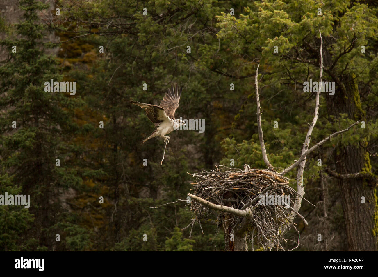 USA, Wyoming, Yellowstone National Park. Osprey lands with nesting material. Credit as: Don Grall / Jaynes Gallery / DanitaDelimont. com - Stock Image