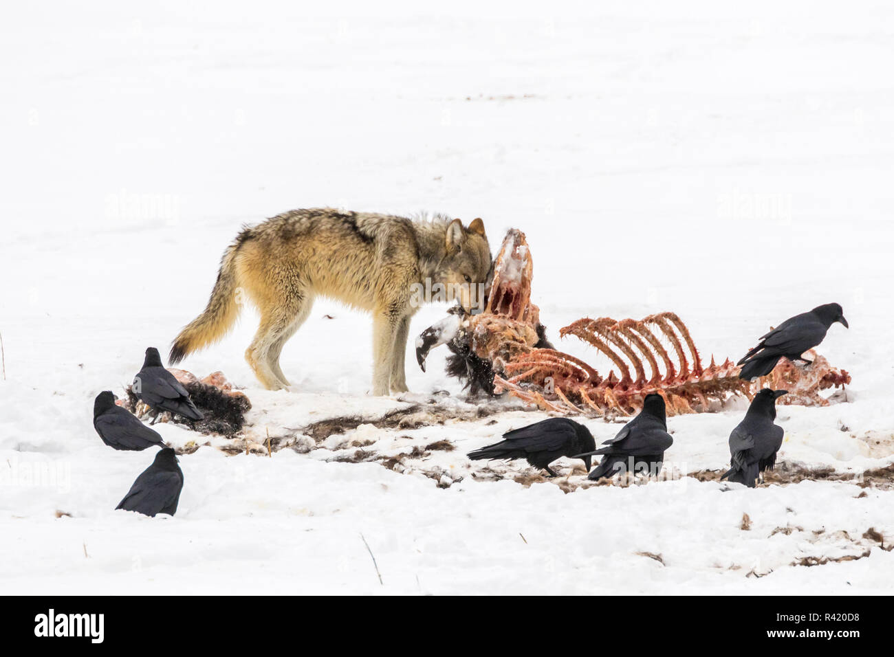 USA, Wyoming, Yellowstone National Park. Wolf feeding on bison carcass. - Stock Image