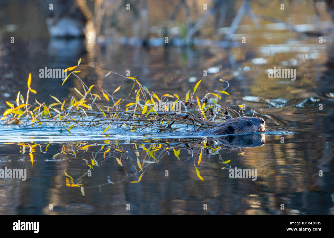 USA, Wyoming, Grand Teton National Park. Schwabacher Landing, Beaver swims with a cottonwood branch carrying it back to it's lodge Stock Photo