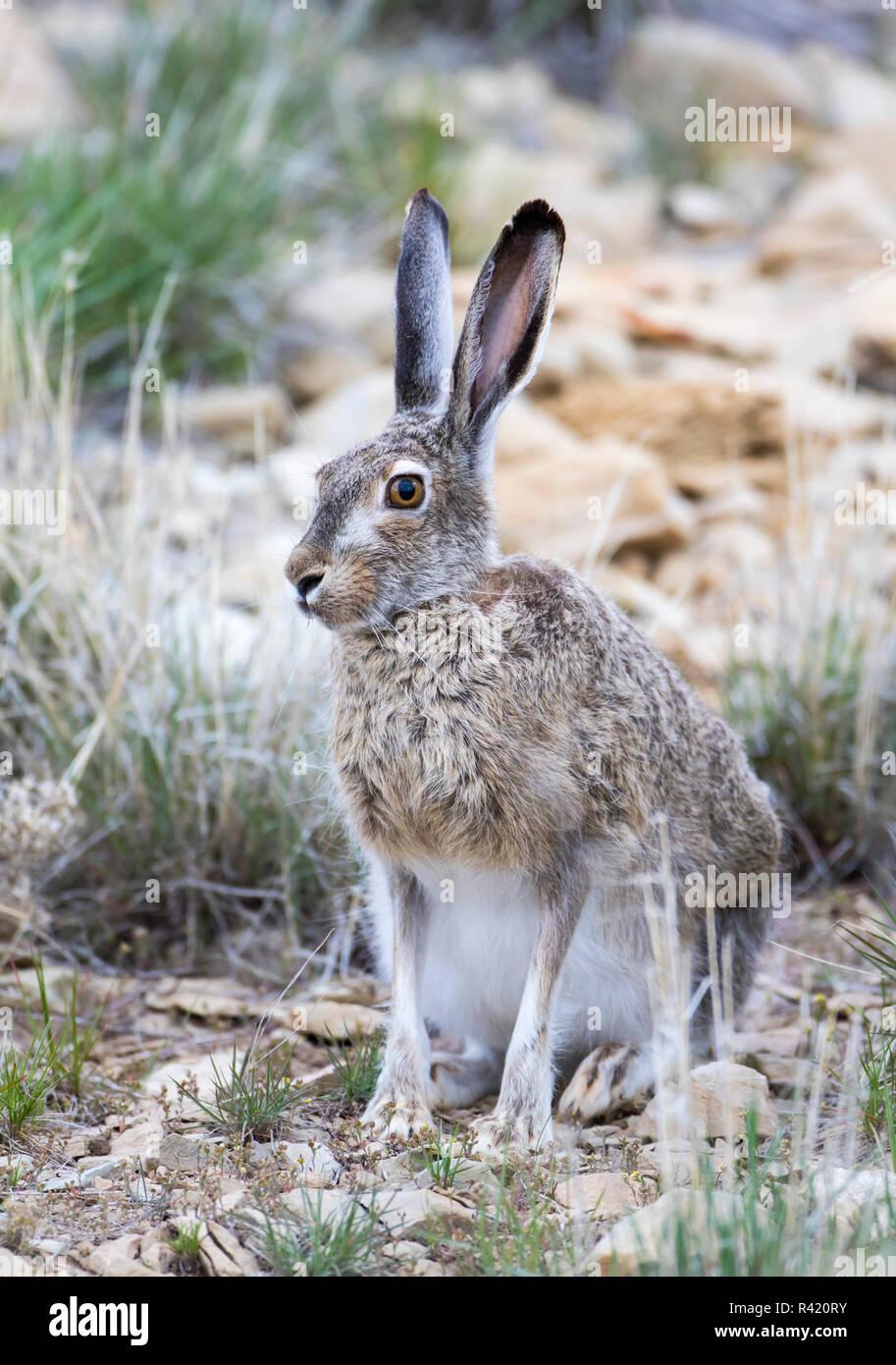 Jack Rabbit Usa >> Usa Wyoming Sublette County White Tailed Jackrabbit