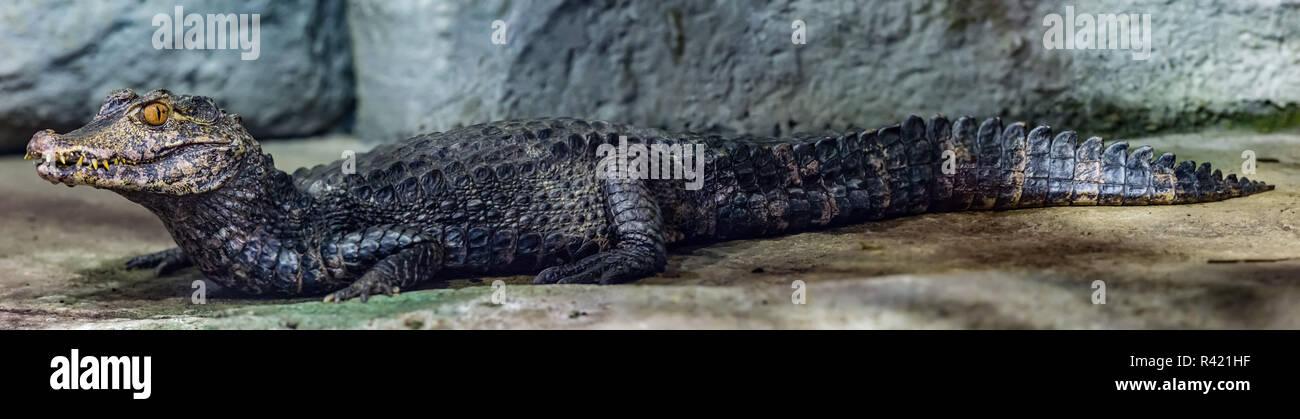 cuvier's dwarf caiman - Stock Image
