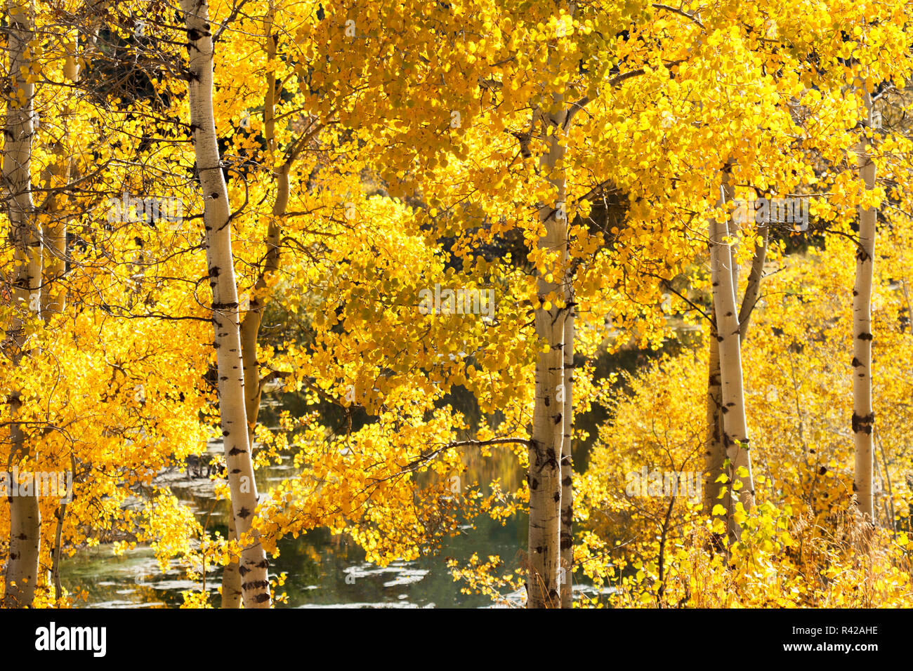 USA, Wyoming. Golden aspen leaves glow in sunlight next to a pond. Stock Photo