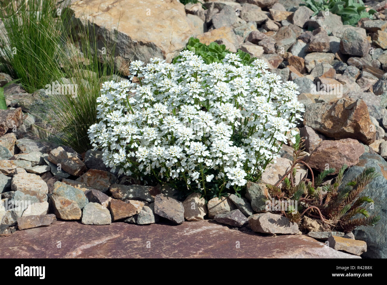 Schleifenblume, Iberis, sempervierens Stock Photo