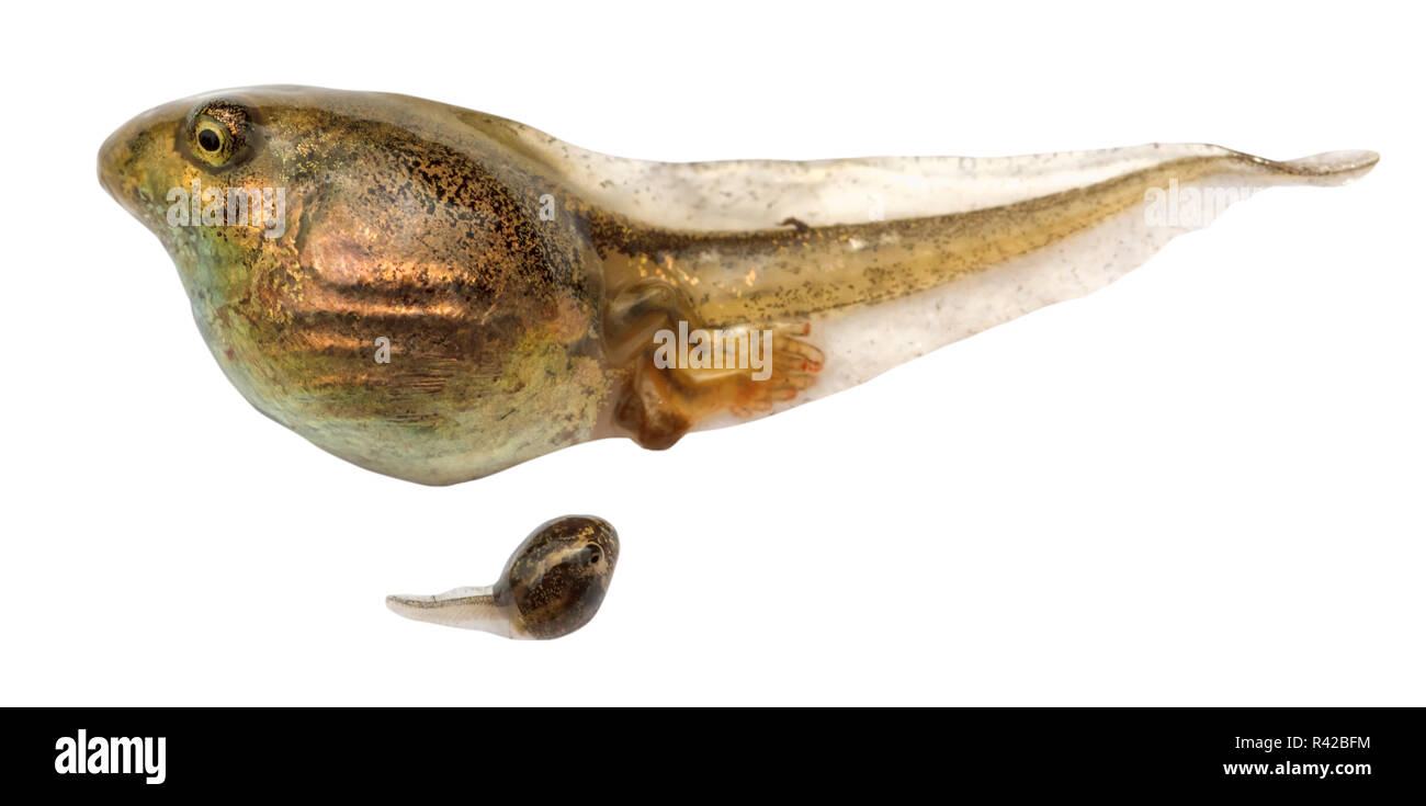 two tadpoles of frogs close up isolated - Stock Image