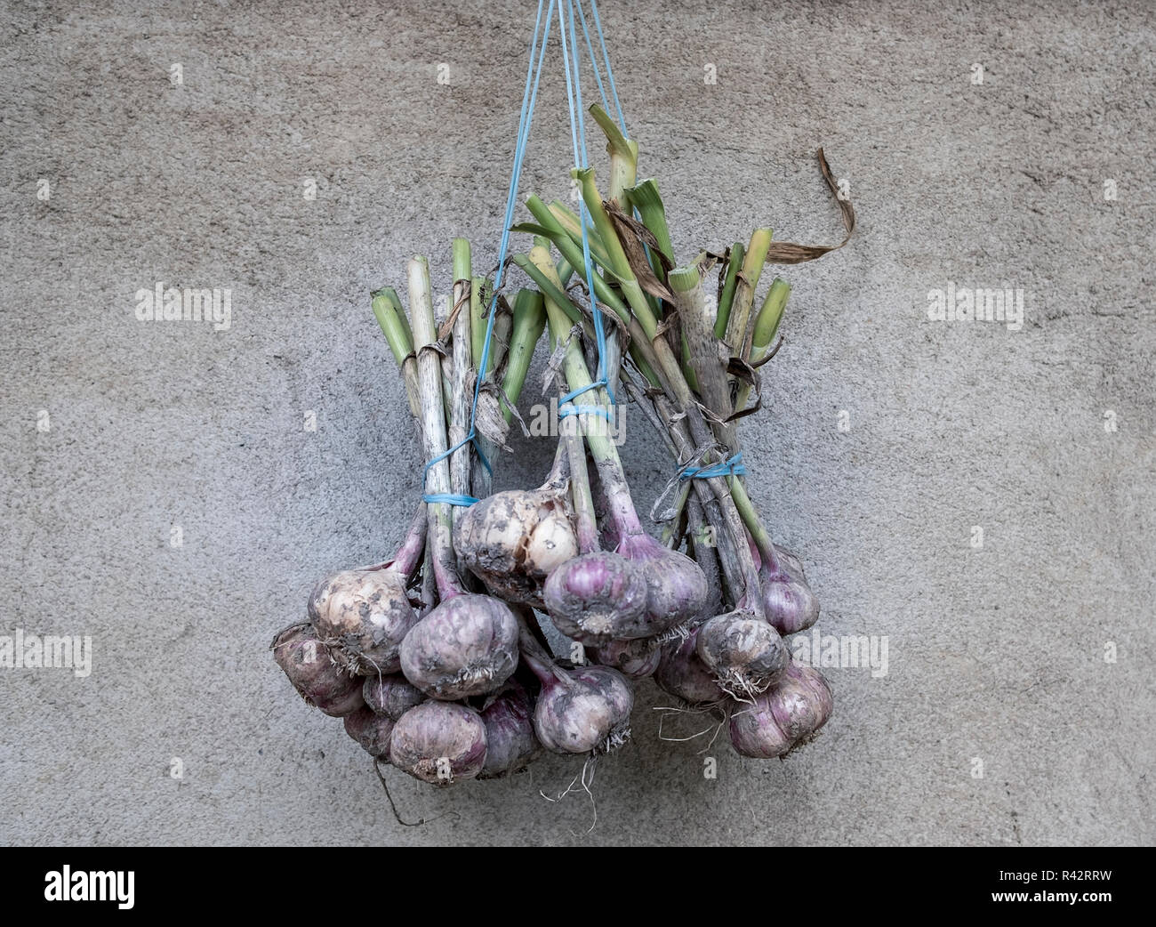 Organic, freshly picked and locally grown bunch of garlic drying in the sun. Stock Photo
