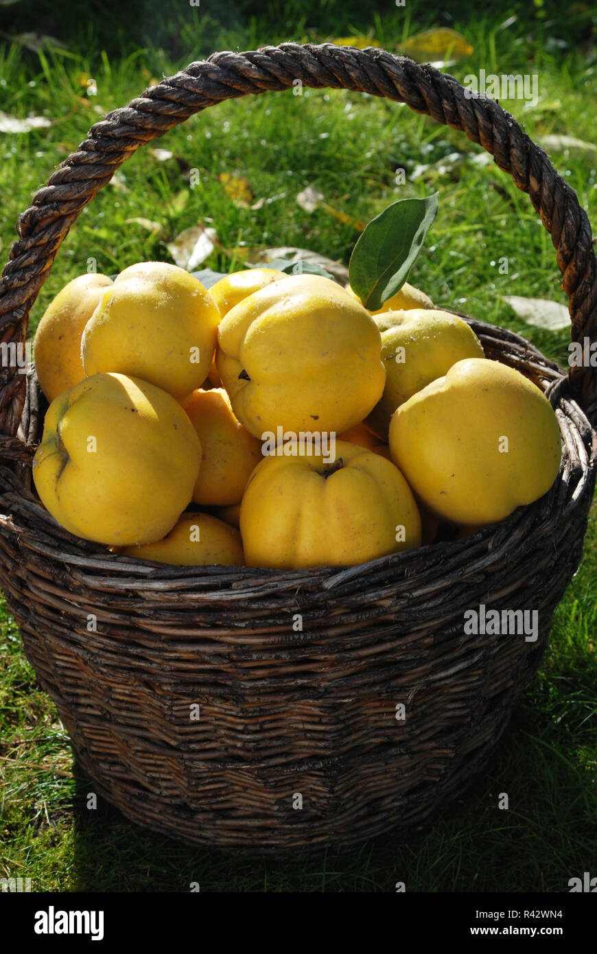 quinces in basket Stock Photo