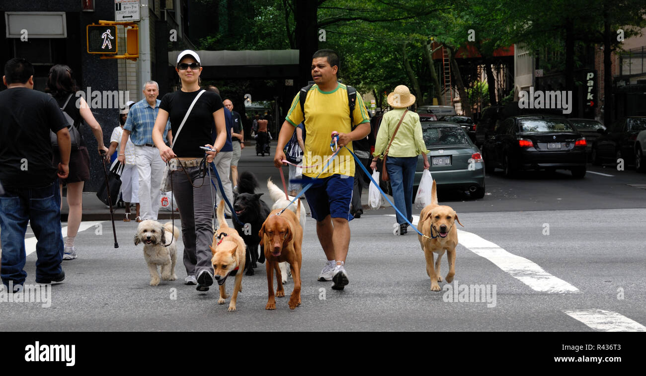 Two men, possibly professional dog walkers, cross a New York city street with five dogs in tow. - Stock Image