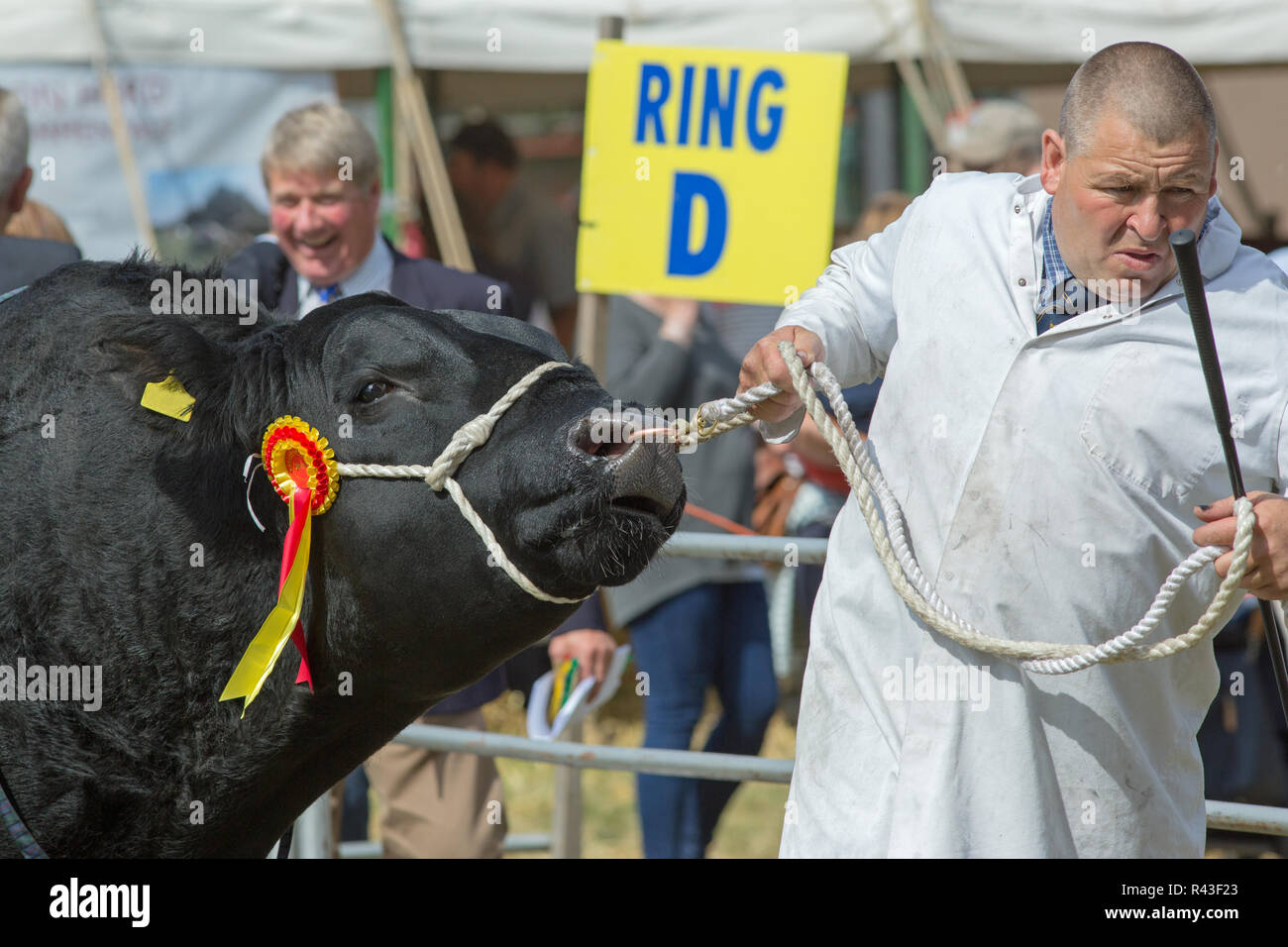 Agricultural Show. Aylsham. August Bank Holiday Monday. Blickling. Norfolk. Aberdeen Angus bull, Beef breed,  Cattle Champion being led around the show ring by a stockman. - Stock Image