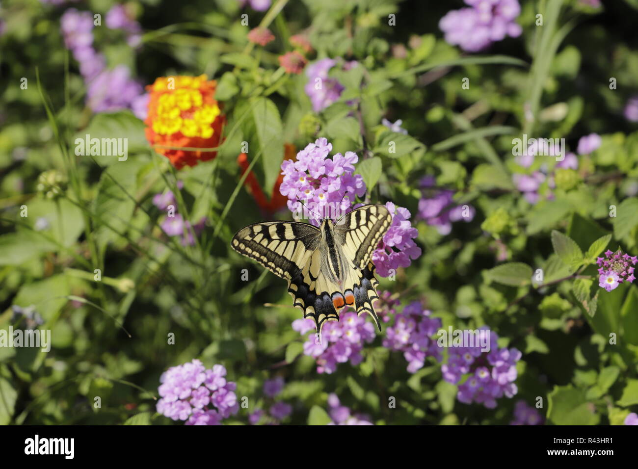 Swallowtail butterfly zipping nectar - Stock Image