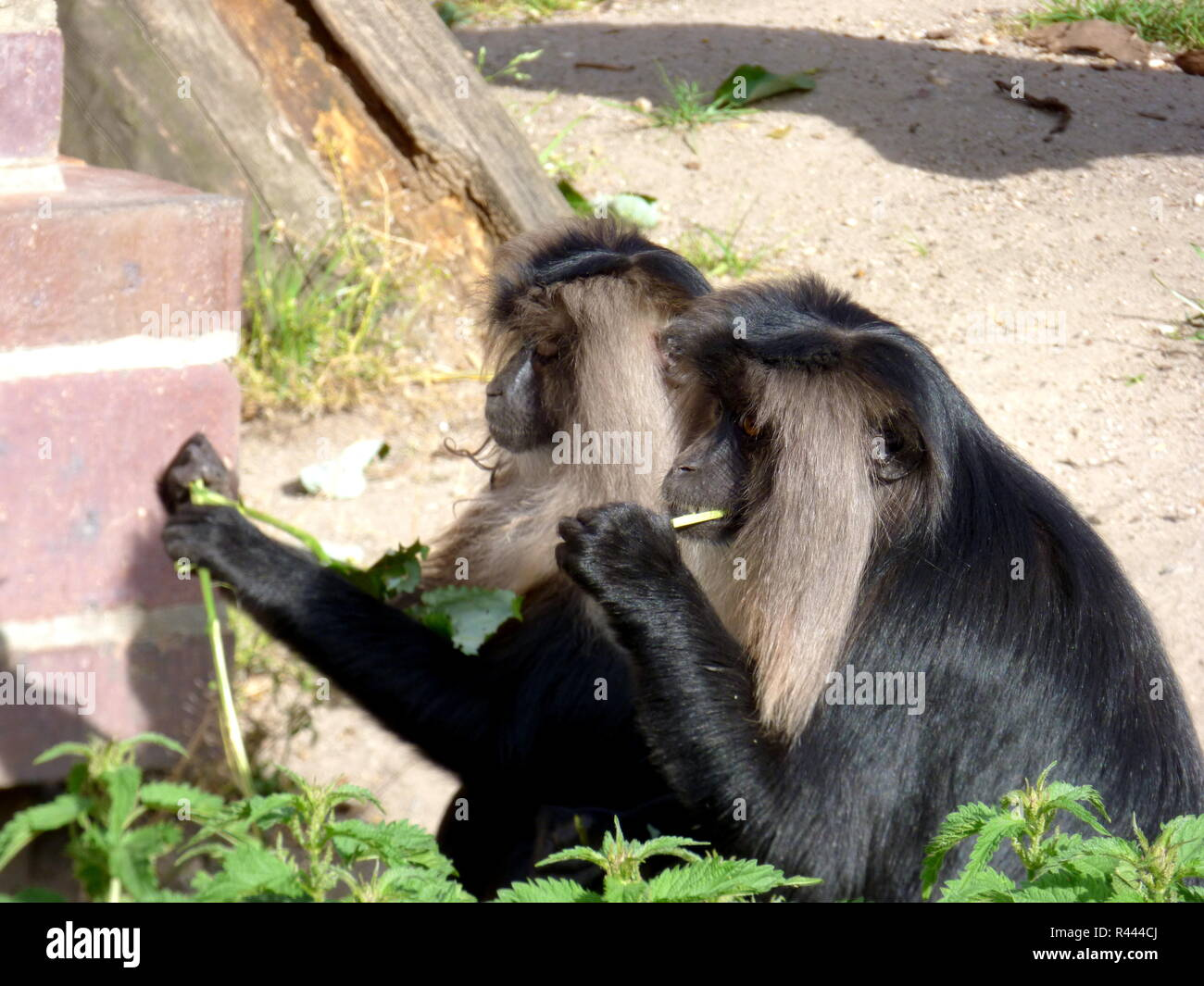 monkeys at lunchtime! Stock Photo