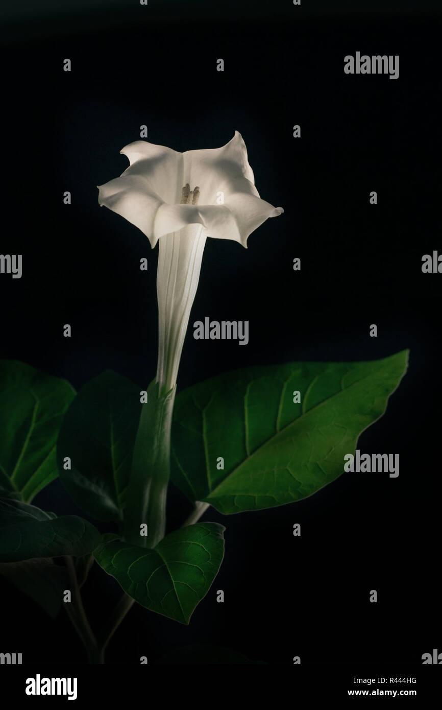 large-flowered datura - datura inoxia Stock Photo