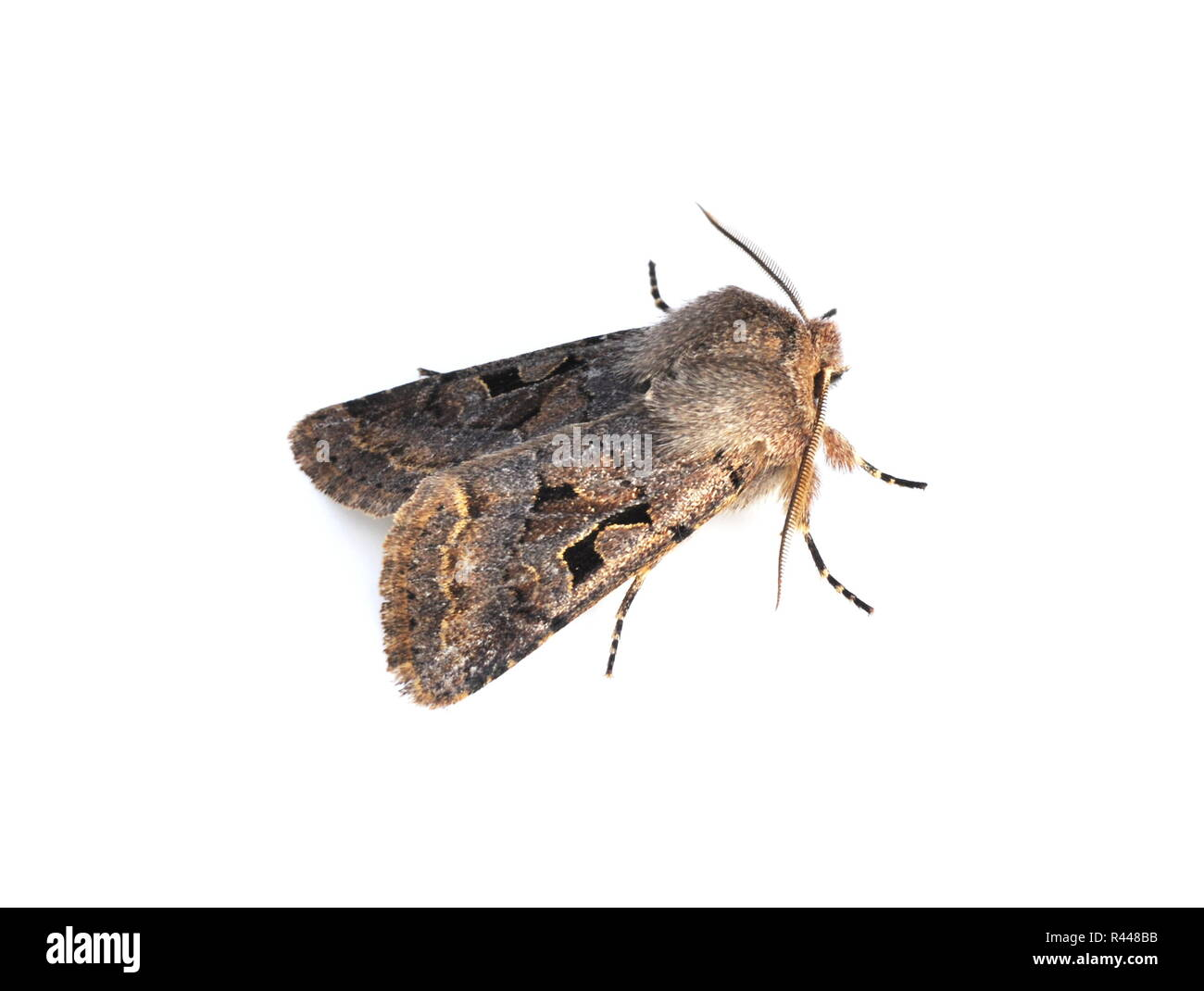 Hebrew Character moth Orthosia gothica on white background - Stock Image