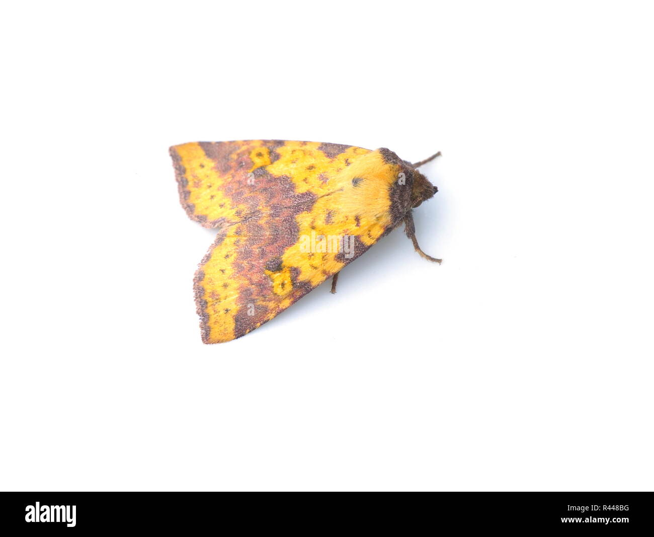 Nocturnal Pink-barred Sallow moth Xanthia togata isolated on white background - Stock Image