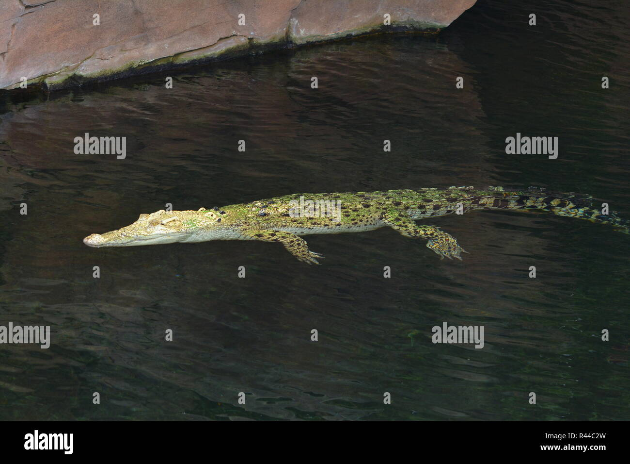 white crocodile - Stock Image