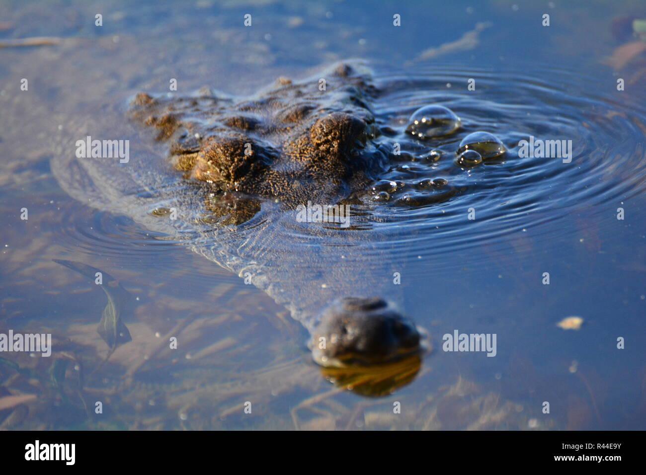 crocodile head - Stock Image