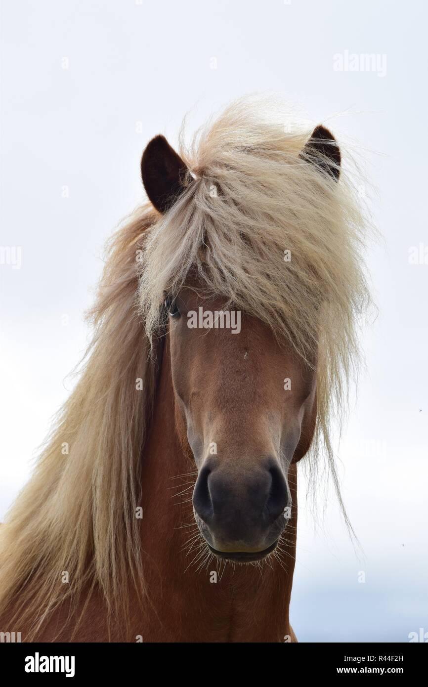 Portrait of a beautiful Icelandic stallion. Flaxen chestnut. - Stock Image