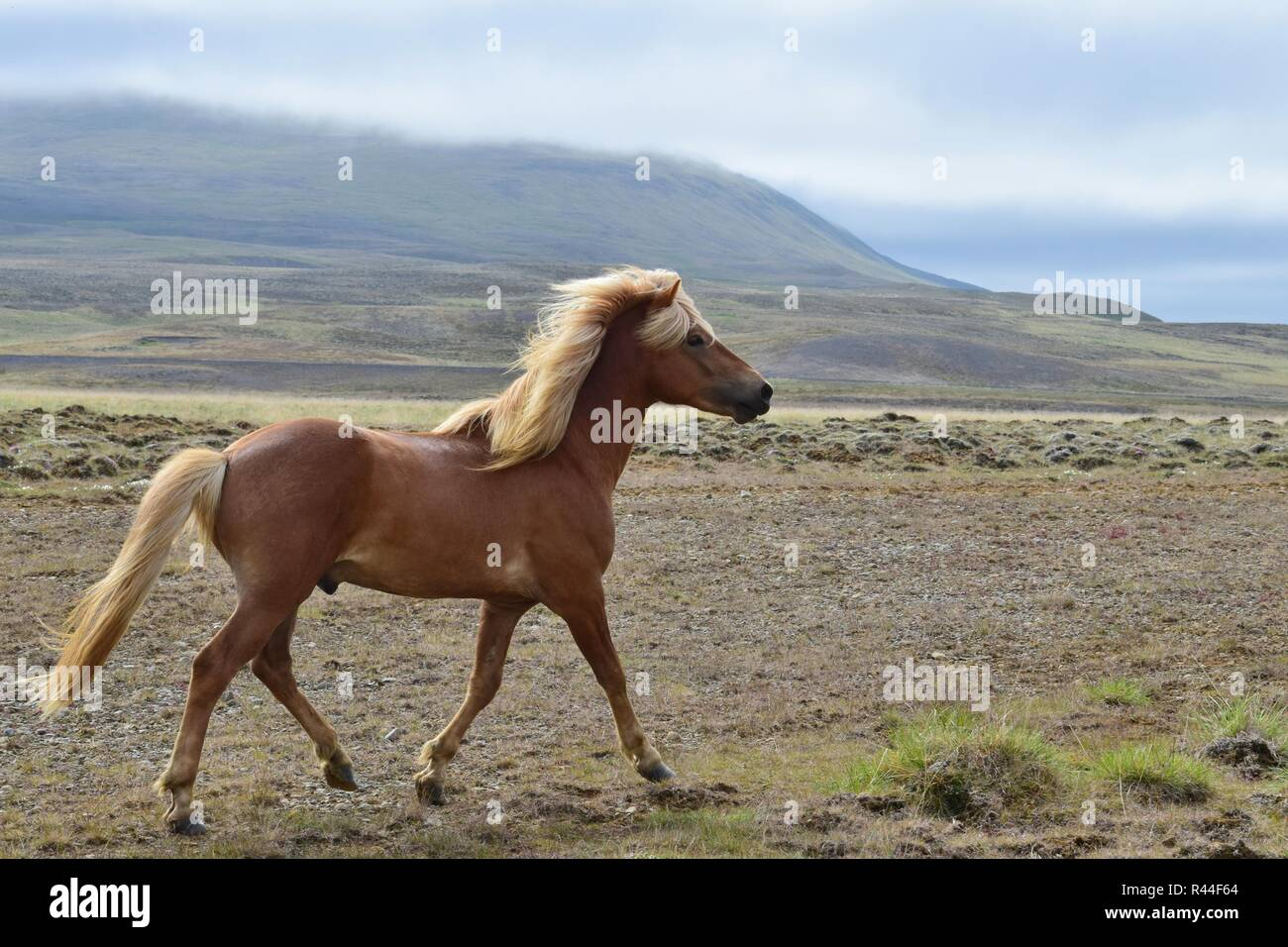 Beautiful Icelandic stallion at a trot, with Icelandic landscape in the background. Flaxen chestnut. - Stock Image