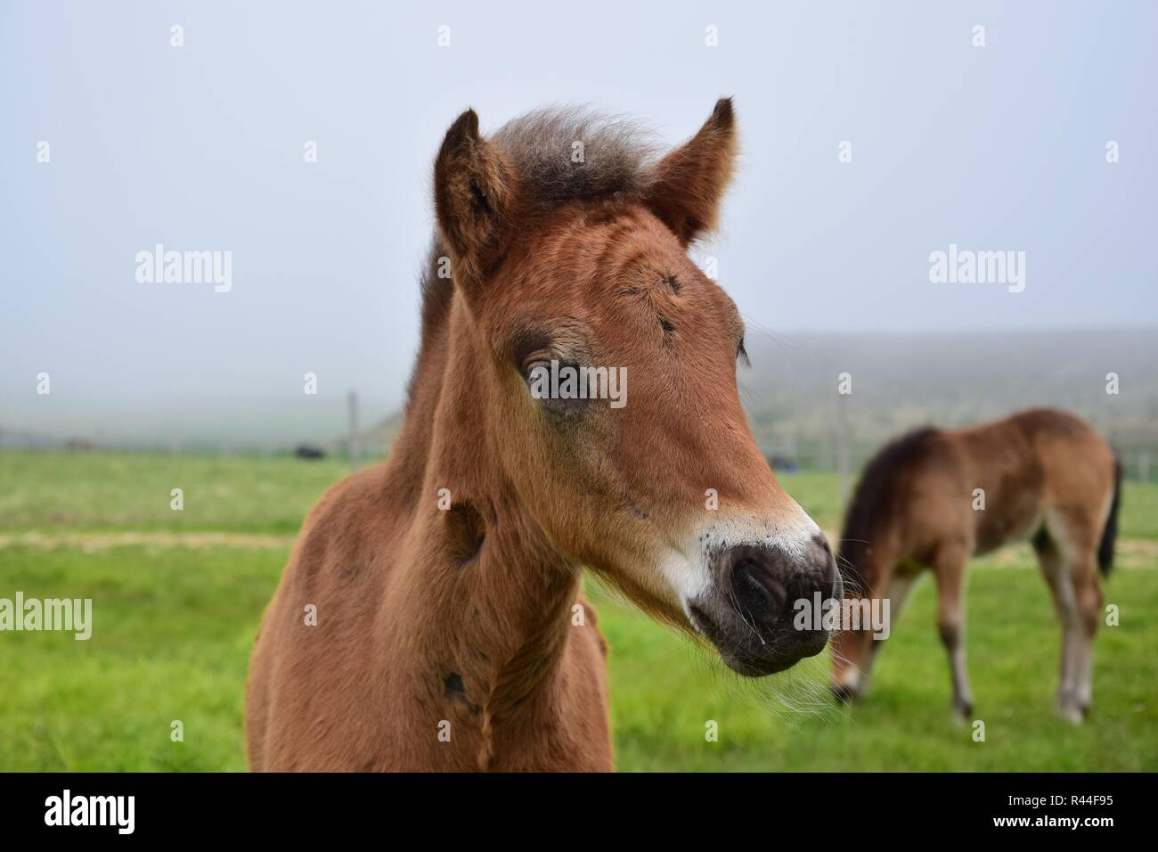 Portrait of a cute Icelandic foal, bay. Stock Photo