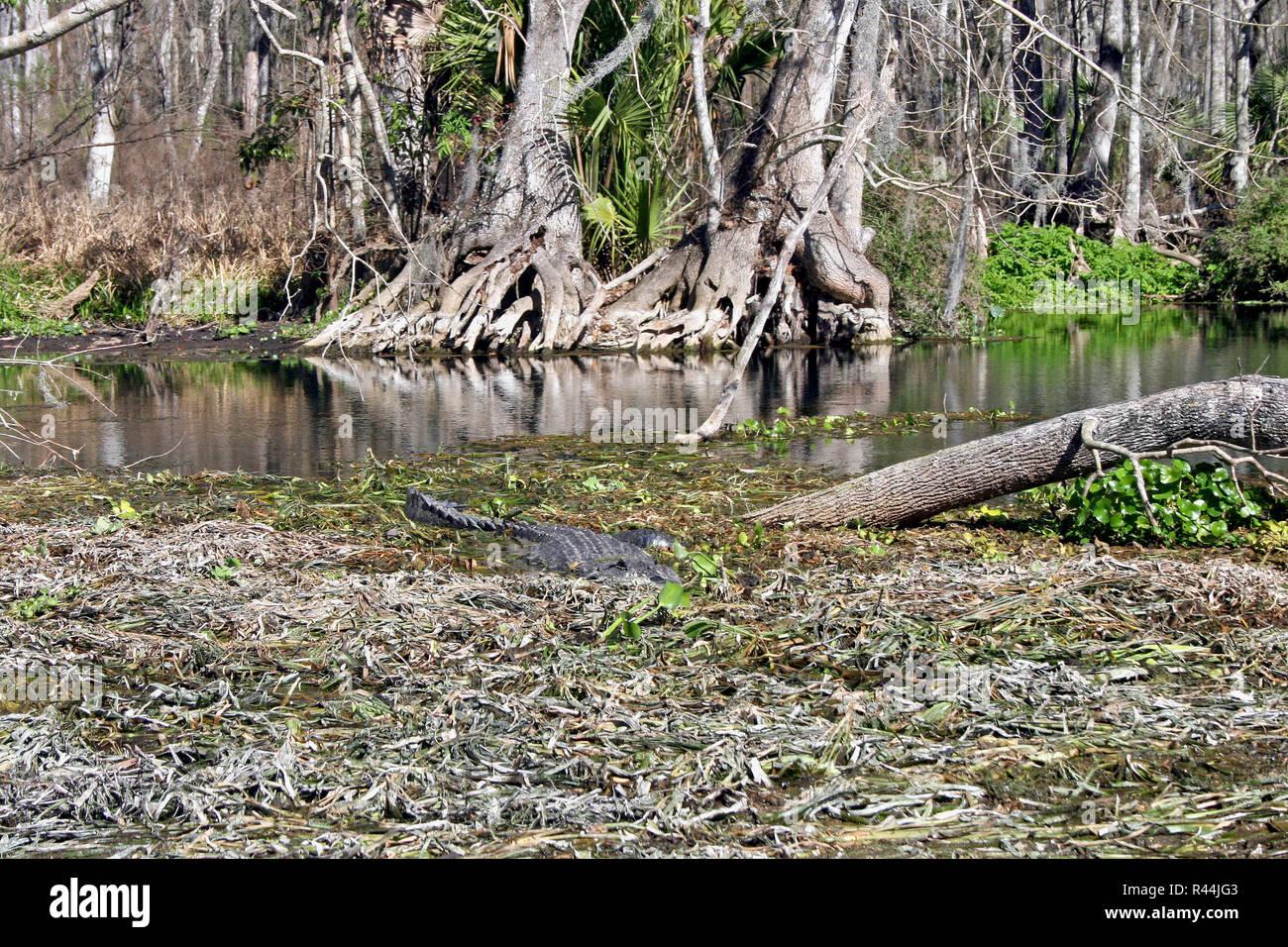 Alligator in Swamp - Stock Image