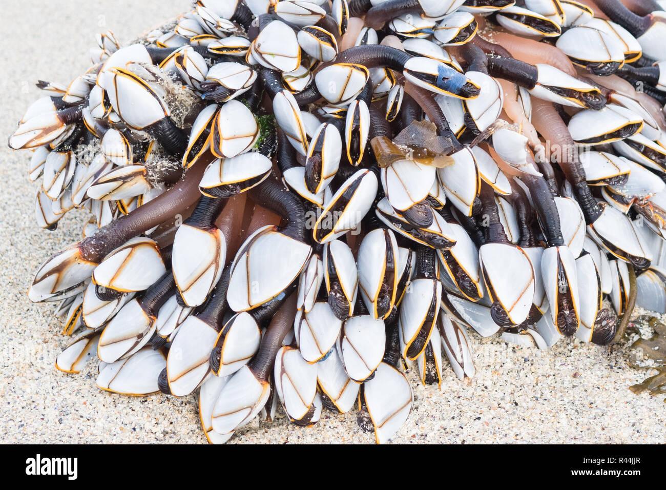 Gooseneck or goose barnacles - lepas anatifera - washed up on beach Stock Photo