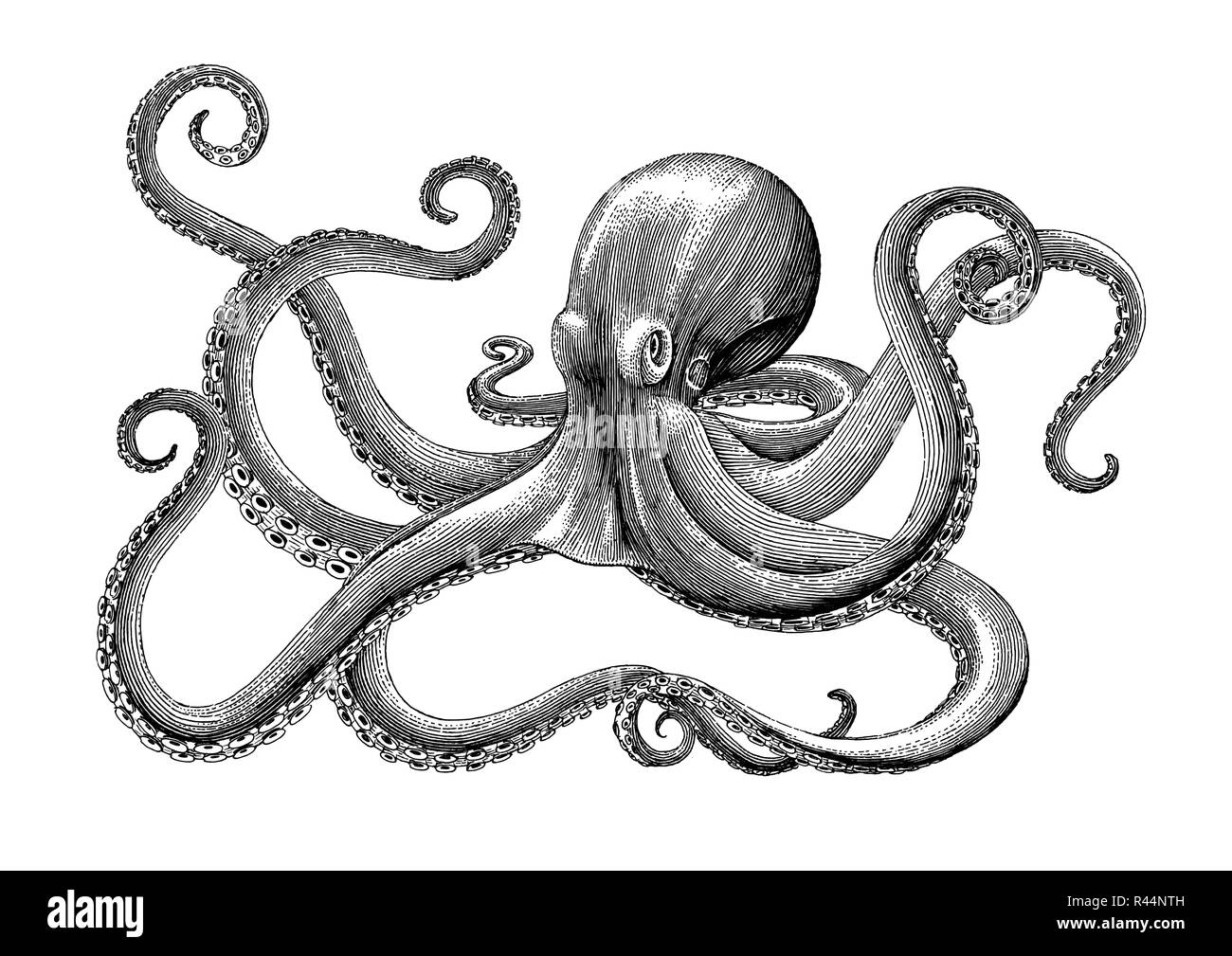 Octopus hand drawing vintage engraving illustration on white backgroud - Stock Vector
