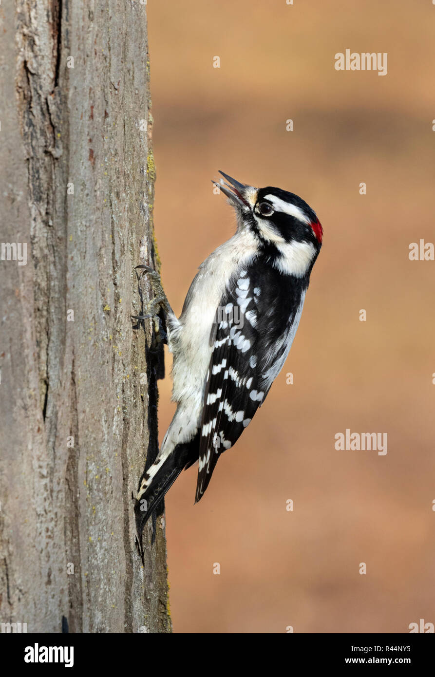 Downy woodpecker (Dryobates pubescens) male feeding on a tree trunk on the background of fallen leaves, Iowa, USA - Stock Image