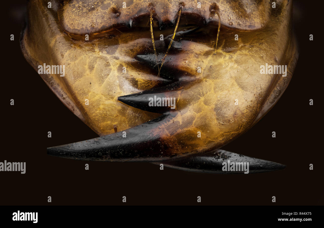 Tiger beelte jaw - Stock Image