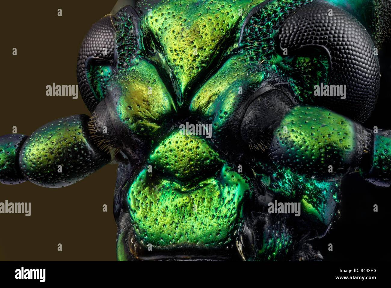 Frog-legged beetle - Sagra - Stock Image