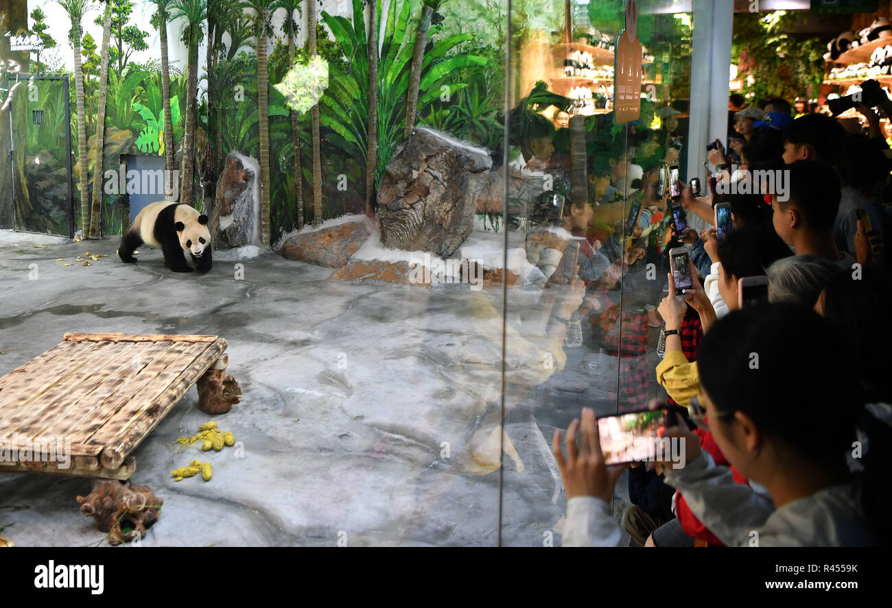 Haikou, China's Hainan Province. 25th Nov, 2018. Giant Panda Shunshun makes public debut at the Hainan Tropical Wildlife Park and Botanical Garden in Haikou, south China's Hainan Province, Nov. 25, 2018. Giants Pandas Gonggong and Shunshun from Sichuan Province came to Hainan and made public debut after being adapted to their new home. Credit: Guo Cheng/Xinhua/Alamy Live News - Stock Image