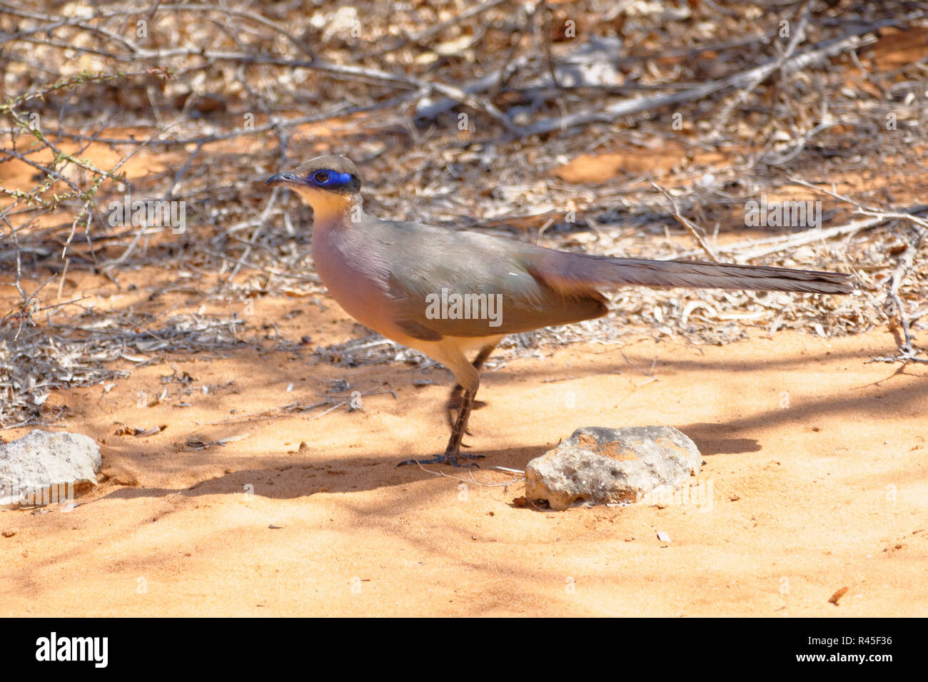 giant coua - Stock Image