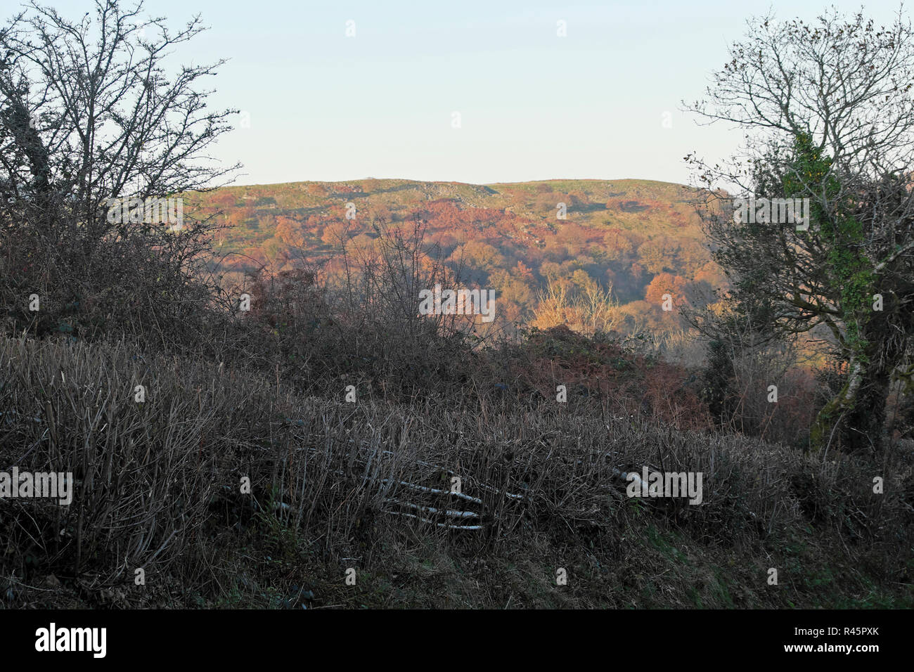 View of colourful autumn hillside and pleached trimmed hedge along a rural country road in November Carmarthenshire West Wales UK  KATHY DEWITT Stock Photo